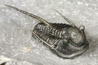 "1.3"" Cyphaspis Trilobite - Issoumour, Morocco For Sale, #124892"