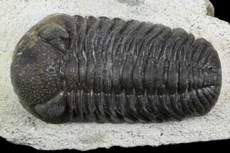 "Buy 2.1"" Morocops Trilobite - Visible Eye Facets - #120076"