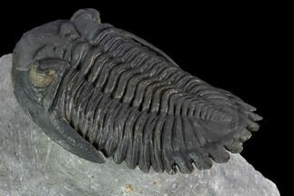 "Buy 2.5"" Flying Hollardops Trilobite - Ofaten, Morocco - #125092"
