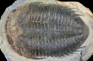 "7.5"" Homalonotid (Iberocoryphe?) Trilobite - Very Rare! For Sale, #125123"