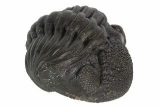 "1.65"" Wide Enrolled Pedinopariops Trilobite For Sale, #125099"
