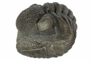 "1.7"" Wide, Enrolled Pedinopariops Trilobite - Mrakib, Morocco For Sale, #125102"