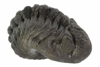 "Buy 1.85"" Wide, Enrolled Pedinopariops Trilobite - Mrakib, Morocco - #125104"