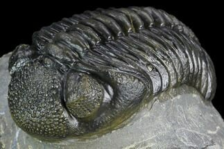 "Buy Beautiful, 2.6"" Pedinopariops Trilobite - Mrakib, Morocco - #125194"