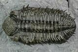 "3.85"" Spiny Drotops Armatus Trilobite - Excellent Preparation - #125201-2"