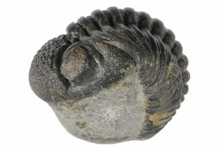 "1.65"" Wide, Enrolled Pedinopariops Trilobite - Mrakib, Morocco For Sale, #125114"