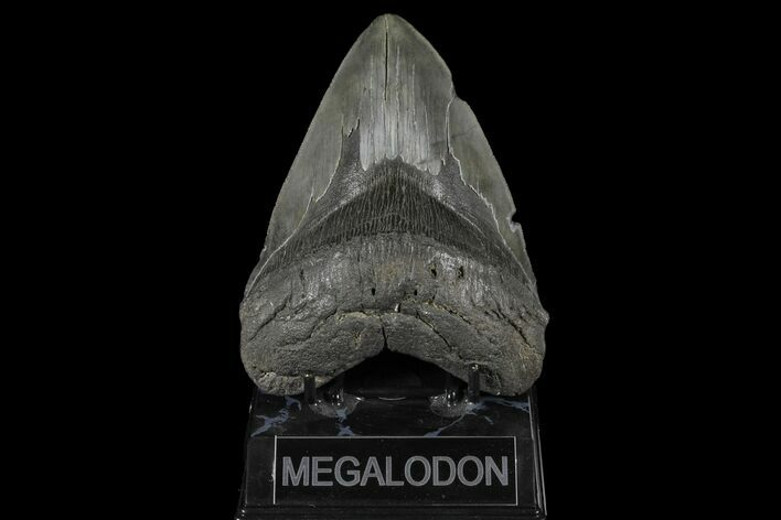"Serrated, 5.23"" Upper Megalodon Tooth - South Carolina"