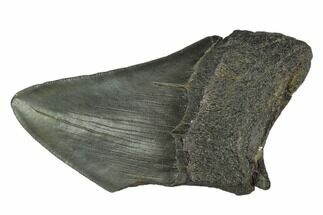 "Buy 4.05"" Partial Fossil Megalodon Tooth - South Carolina - #125257"