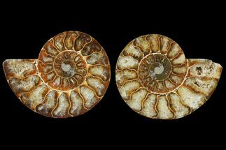 Cleoniceras - Fossils For Sale - #125007