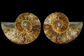 Cleoniceras - Fossils For Sale - #125013