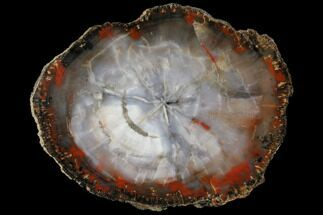 "13.1"" Glassy, Blue/Grey Petrified Wood Round - Arizona For Sale, #125687"