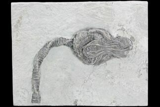 "5.7"" Crinoid (Platycrinites) Fossil - Crawfordsville, Indiana For Sale, #125918"