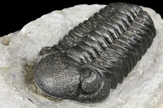 "Buy Bargain, 2.45"" Boeckops Trilobite - Nice Eye Facets - #126313"