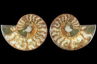 Cleoniceras - Fossils For Sale - #125025