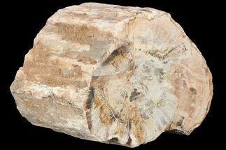 "5.4"" Petrified Wood (Araucaria) Limb Section - Madagascar  For Sale, #126389"