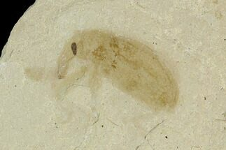 Curculionidae (Family) - Fossils For Sale - #101625