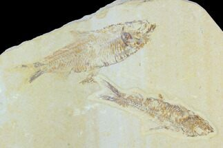 Pair of Fossil Fish (Knightia) - Green River Formation For Sale, #126533