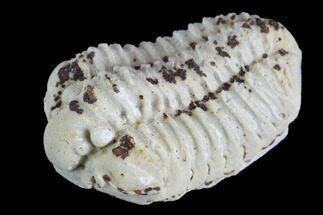 "1.1"" Calymene Celebra Trilobite - Illinois For Sale, #126809"