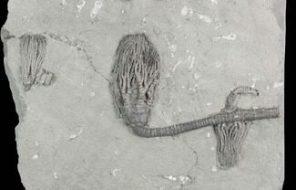 Three Crinoid Fossils (3 Species) - Crawfordsville, Indiana For Sale, #125924