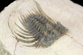 Leonaspis sp. - Fossils For Sale - #126909