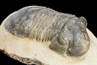 "Bargain, 2.5"" Paralejurus Trilobite - Atchana, Morocco For Sale, #126917"