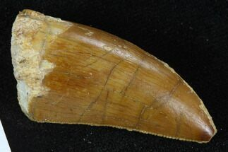 "Buy Serrated, 1.50"" Carcharodontosaurus Tooth - Real Dinosaur Tooth - #127174"