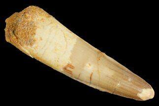 "Buy 2.22"" Spinosaurus Tooth - Real Dinosaur Tooth - #127543"