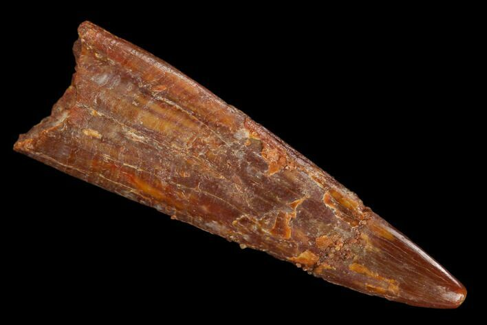 "1.24"" Fossil Pterosaur (Siroccopteryx) Tooth - Morocco"