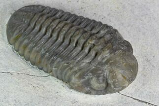 "Beautiful, 1.35"" Morocops Trilobite - Jorf, Morocco For Sale, #127718"