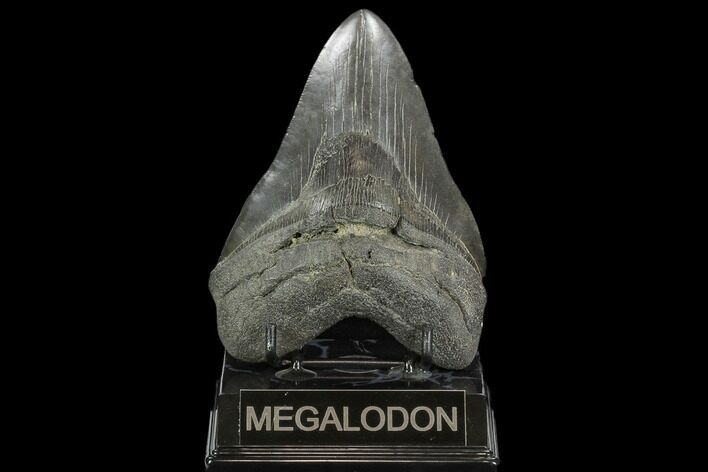 "5.26"" Fossil Megalodon Tooth - South Carolina"