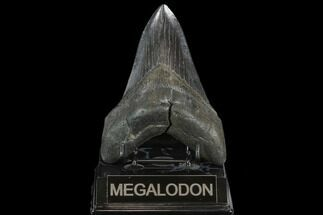 "Buy 4.89"" Fossil Megalodon Tooth - South Carolina - #127744"