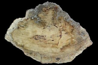 Araucaria sp. - Fossils For Sale - #127962