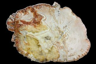"Buy 10.6"" Petrified Wood (Araucaria) Slab - Madagascar  - #127969"