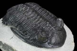 "2.25"" Detailed Hollardops Trilobite - Ofaten, Morocco For Sale, #126302"