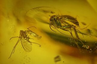 Buy Two Detailed Fossil Flies (Diptera) In Baltic Amber - #128287