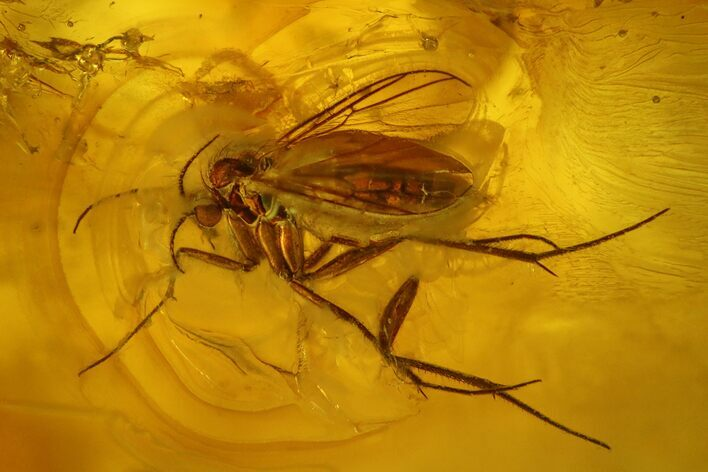 Large Detailed Fossil Fly (Diptera) In Baltic Amber