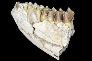 "Buy 2.8"" Oreodont (Merycoidodon) Jaw Section - South Dakota - #128113"