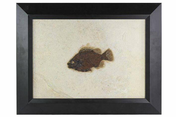 "5.6"" Framed Fossil Fish (Cockerellites) - Wyoming"
