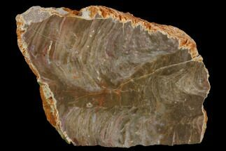 "Buy 2.9"" Polished Stromatolite (Inzeria) Section -Alice Springs, Australia - #129172"