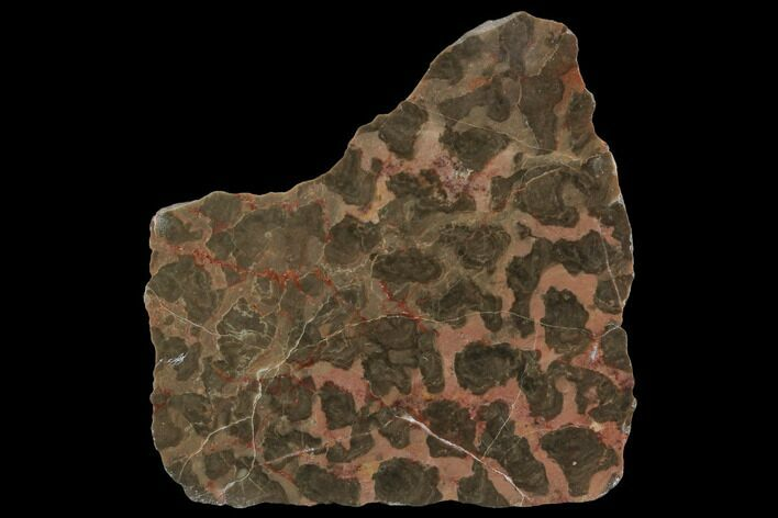"3"" Polished Stromatolite (Inzeria) Slab - 800 Million Years"