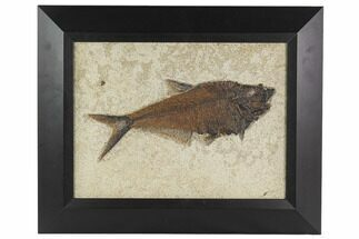 Diplomystus dentatus - Fossils For Sale - #129132