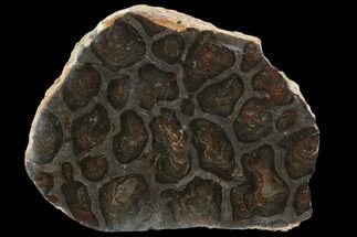 Acaciella australica - Fossils For Sale - #129225