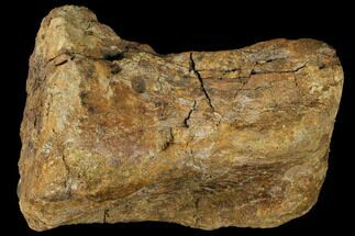 Edmontosaurus annectens - Fossils For Sale - #129795