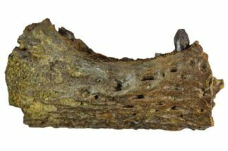 Brachychampsa sp. - Fossils For Sale - #129813