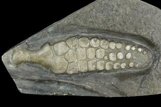 "7.2"" Fossil Ichthyosaur Paddle - Posidonia Shale, Germany For Sale, #129944"