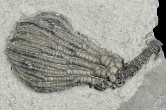 "1.7"" Crinoid (Pachylocrinus) Fossil - Crawfordsville, Indiana For Sale, #130160"