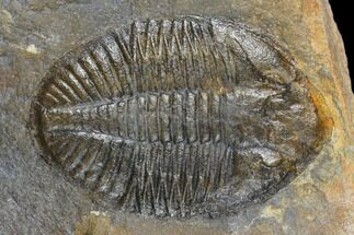 "Buy 1.85"" Ogyginus Trilobite - Wales, Great Britian - #130195"