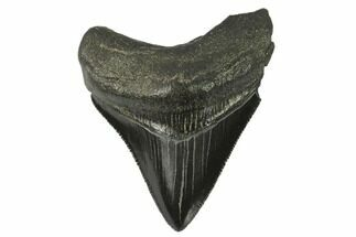 "Serrated, 2.62"" Fossil Megalodon Tooth For Sale, #129986"