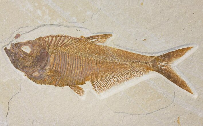 "6.25"" Fossil Fish (Diplomystus) - Green River Formation"