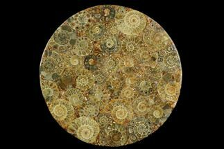 "7.9"" Composite Plate Of Agatized Ammonite Fossils For Sale, #130556"